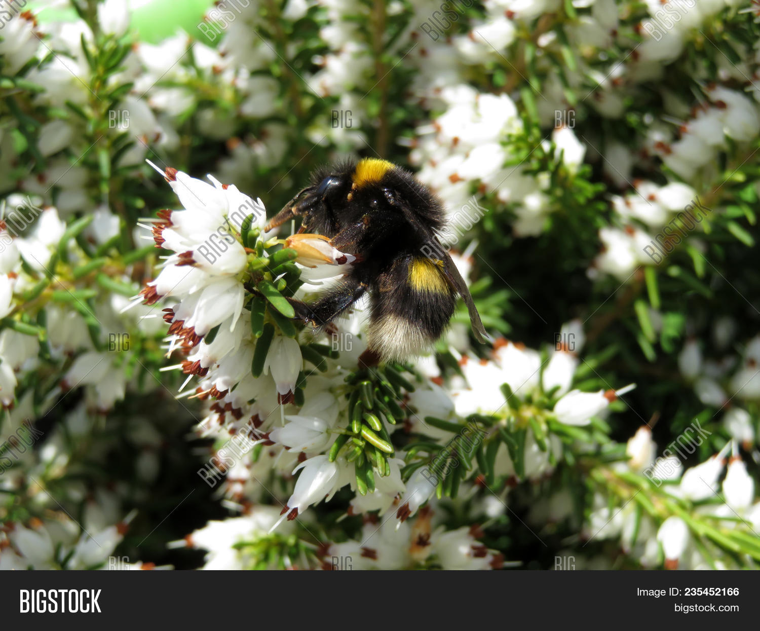 Bumble Bee On White Image Photo Free Trial Bigstock