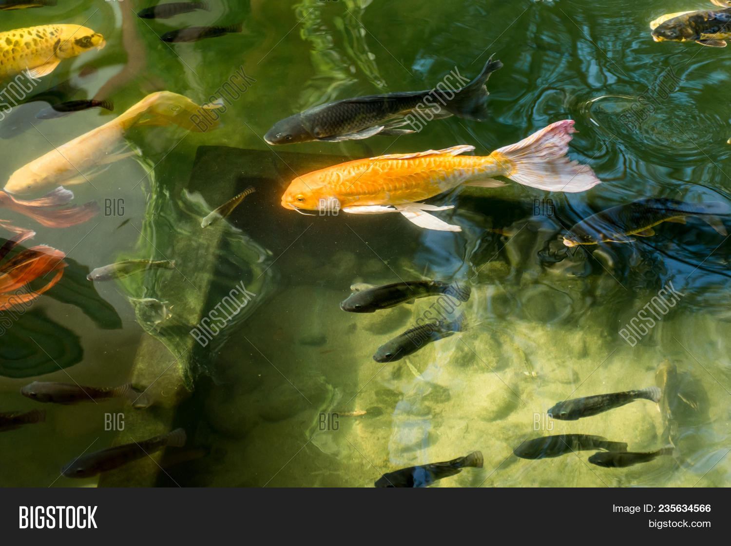 Colorful Fancy Carp Image & Photo (Free Trial) | Bigstock