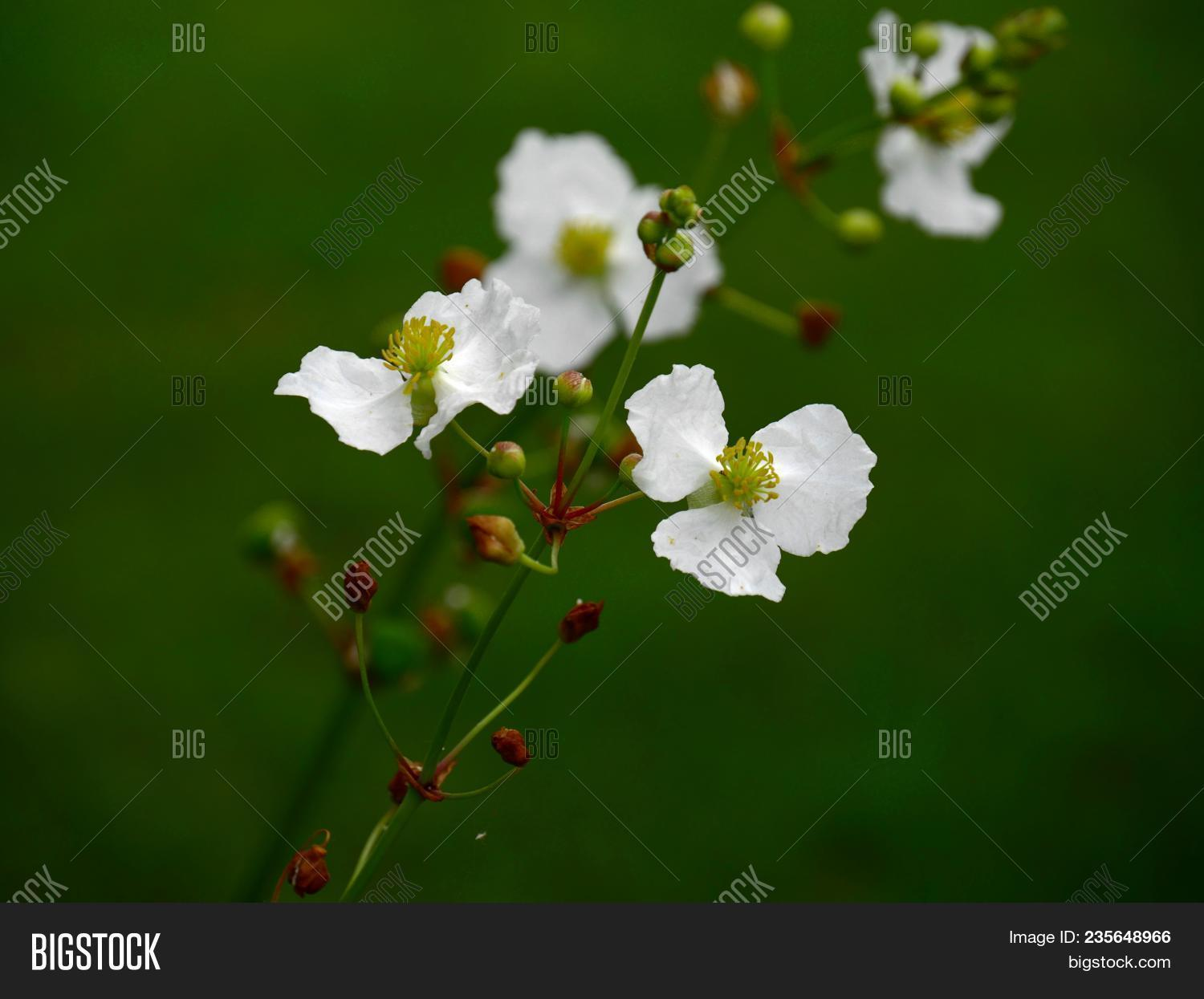 Arrowhead Flowers In A Stem, With Other Flowers In Blurry Background A Stem Loaded With