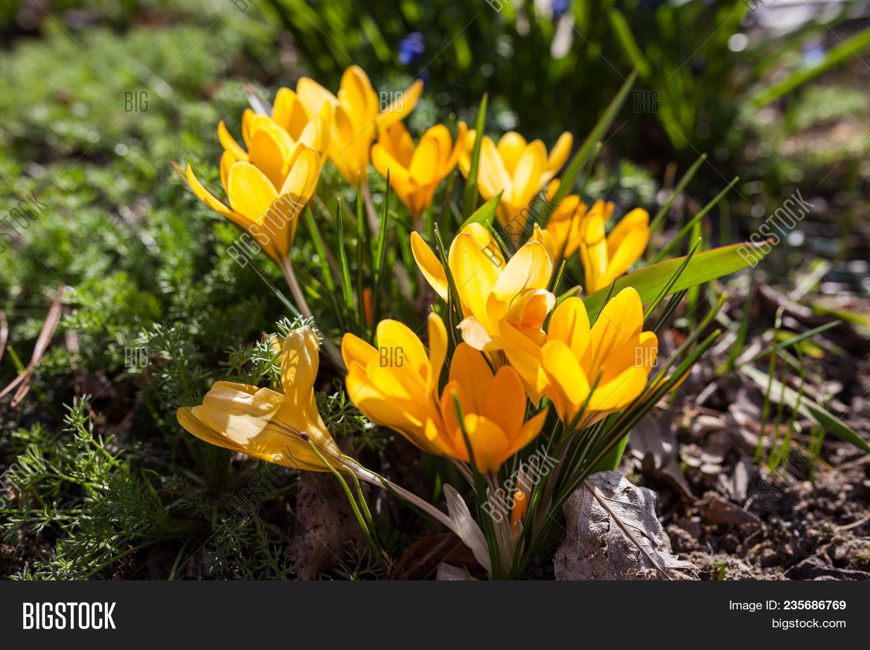 Yellow Crocus Flowers Image Photo Free Trial Bigstock