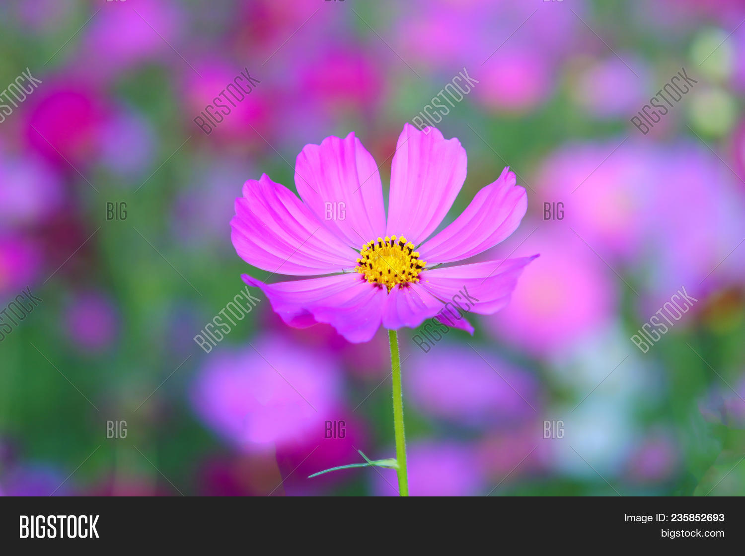 Purple flowers yellow image photo free trial bigstock purple flowers with yellow stamens flower concept mightylinksfo