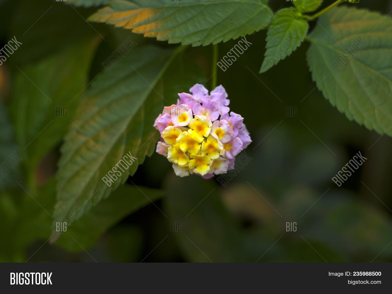 Beautiful Yellow Pink Image Photo Free Trial Bigstock