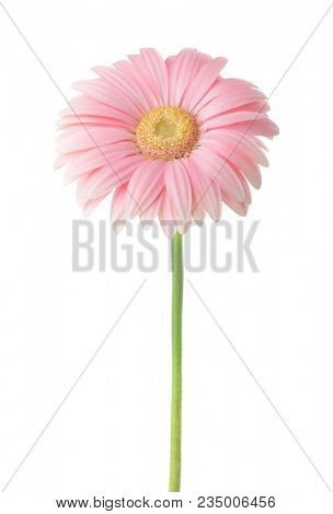 Light pink  Gerbera flower isolated on white background