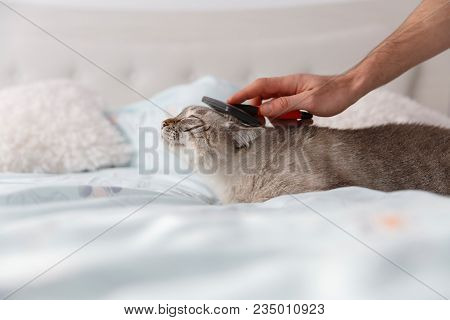 Spoiled Cat On The Bed. Human Friendly Hand Spoil His Cat With A Special Pet Brush.