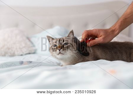 Domestic Cat In Relaxing Mood. Human Friendly Hand Spoil His Cat With A Special Pet Brush.