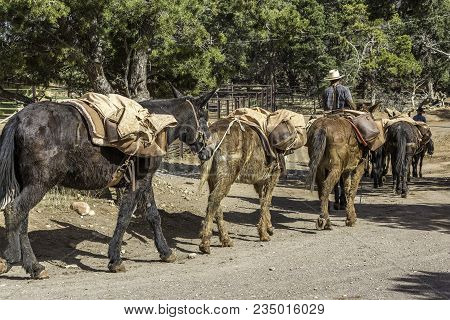 The Pack Mules Returning To Their Stable After A Long Days Trip To The Bottom