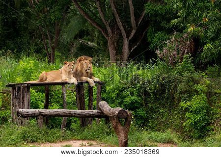 Couple Of Lions Resting In A Zoo Open Sky With A Background Of Native Vegetation In Brazil
