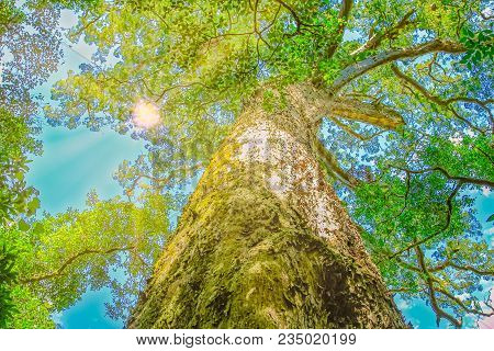 The Big Tree Is A Giant Outeniqua Yellow Wood, Podocarpus Falcatus, 1000 Years Old In Tsitsikamma Fo