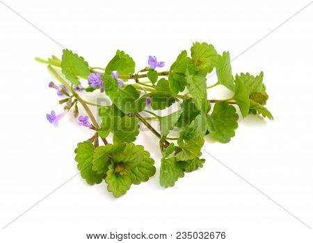 Glechoma Hederacea, Ground-ivy, Gill-over-the-ground, Creeping Charlie, Alehoof, Tunhoof, Catsfoot,