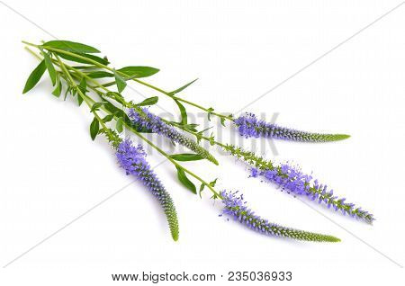 Veronica Longifolia, Known As Garden Speedwell Or Longleaf Speedwell. Isolated.