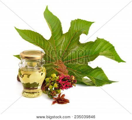 Ricinus Communis, Castorbean Or Castor-oil-plant.  Composition With Castor Oil Andleaves. Isolated O