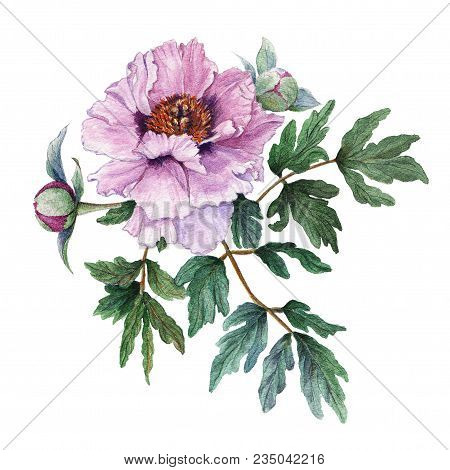 Tender Light Pink Peony With Leaves And Buds On White Background. Fresh Flowering Pink Peony. Tree-l