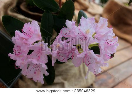 Big Pink Azalea Or Rhododendron In Home Garden. Season Of Flowering Azaleas (rhododendron). Colorful