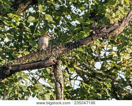 Brubru Shrike bird perched on tree branch against green leaf background in iSimagaliso Wetland Park, Zululand, South Africa poster