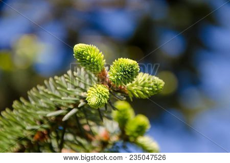 Young Green Sprouts Fir Tree Needles With Bokeh. Young Growing Fir Tree Sprouts On Branch In Spring