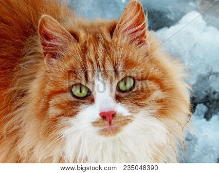Close-up Red Cat With Green Eyes Looking On Camera. Cute Aborable Red Cat Asks Food. Portrait Of Red