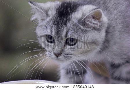 Young Arabian Sand Wild Cat, Felis Margarita In Zoo. Sand Wild Cat Is A Beautiful Desert Animal. Por