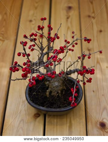 Bonsai Holly Berries Tree. Red Berries Of Holly Bonsai Tree. Picture Of Beautiful Autumn Bonsai Holl