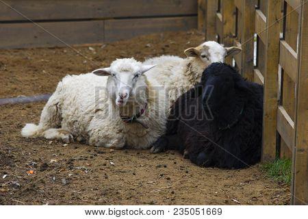 Three Sheeps In Farm. Cute Sheeps For Muslim Festival Of Sacrifice Eid-ul-adha (kurban Bayram). Whit