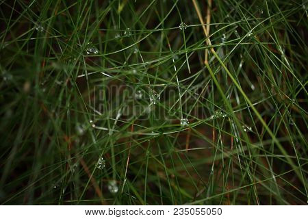 Leaves Of Grass With Dew Drops Close Up