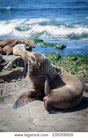 California Sea Lions Resting On The Beach In La Jolla, San Diego, California (zalophus Californianus