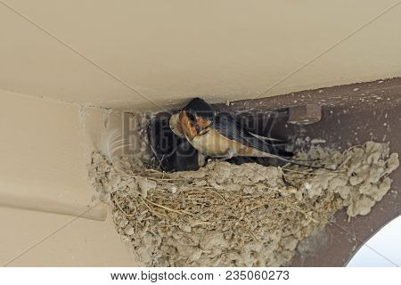 Barn Swallow On Its Nest In A Kiosk In Badlands National Park In South Dakota