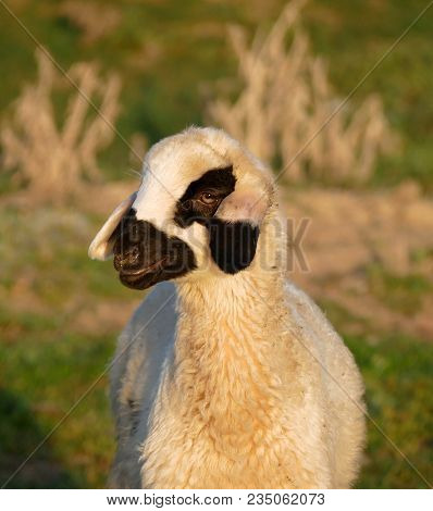 Head Of Sheep, Cute Sheep Portrait Pictures,