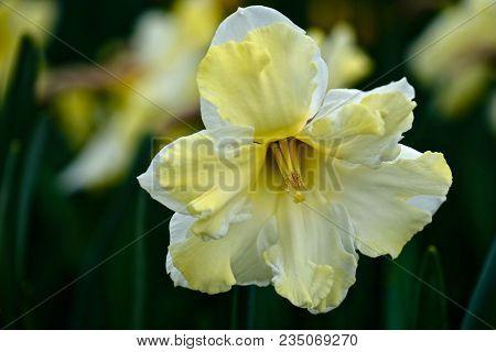 Yellow Daffodil Hybrid Flower. Roozengaard. Mt Vernon. Washington. Usa.
