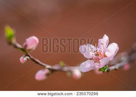 Blooming Beautiful Pink Peach Flowers On Branches. April Spring Peach Tree Blossom