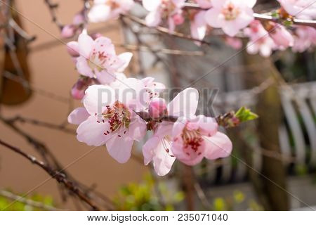 Blooming Beautiful White  Flowers On Branches With Blurred House In Background. April Spring Tree Bl