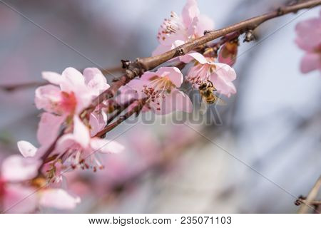 Bee Collecting Pollen On Blooming Pink Peach Flowers On Branches. April Spring Tree Blossom