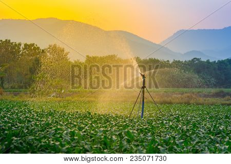 Watering Young Green Corn Field In The Agricultural Garden By Water Springer And Light Shines Sunset