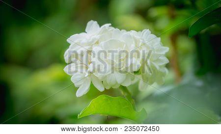Close Up White Jasmine Flower In Natural Green Background