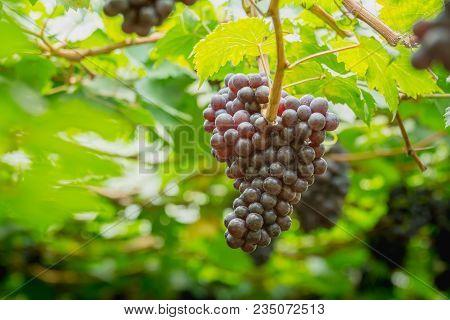 Bunch Of Ripe Grapes (blackopor) On A Vine In Agricultural Garden.