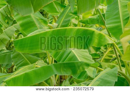 Close Up The Background Of Green Banana Leaf In Garden