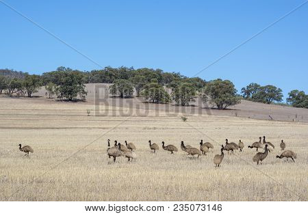 Wild Australian Native Mob Of Young Emus In Scrub Land Near Alligator Gorge In Wilmington, South Aus