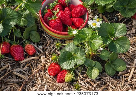 Strawberry Picking - Bowl Of Ripe Red Strawberries With Strawberry Plant