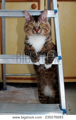 Frisky Tabby Cat Standing Up On His Hind Legs. Serious Business Tabby Cat In Front Looking On Camera