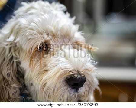 Portrait Of A Fluffy Spoodle Or Cockapoo Dog In Closeup View. The Popular Breed Is A Mix Between Coc
