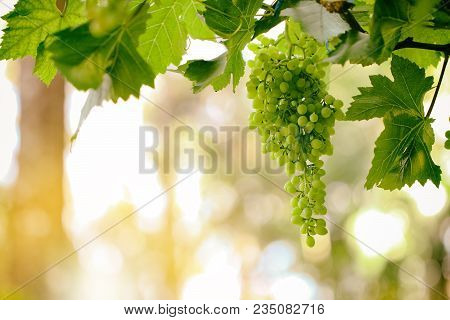 Fresh Grapes Fruits On Plant And Summer Sun Light
