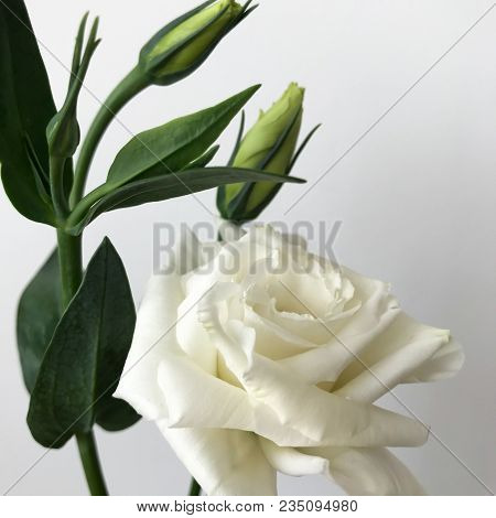 Delicate Bouquet Of Chinese Roses On A White Background.