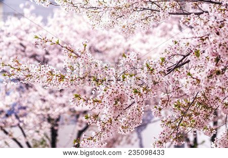 Cherry Blossoms In Seoul South Korea