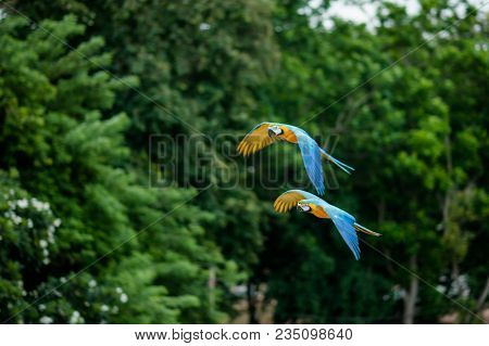 Two Flying Macaws,beautiful Birds.flying Beautiful Birds.beautiful Birds Flying.