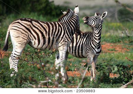 Jóvenes salvajes cebras