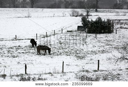 Two Shivering Donkeys Graze The Little Grass That Comes Out Of The Snow On The Frozen Ground In Wint