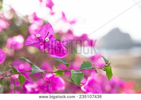 Pink Bougainvillea growing on the small island of Philae in the Nile River, Egypt. poster