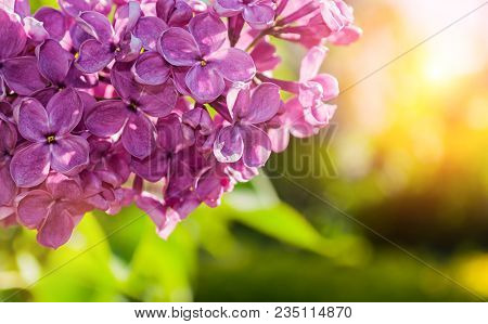 Spring Background With Lilac Flowers. Spring Lilac Flowers Branch Lit By Sunlight, Selective Focus A