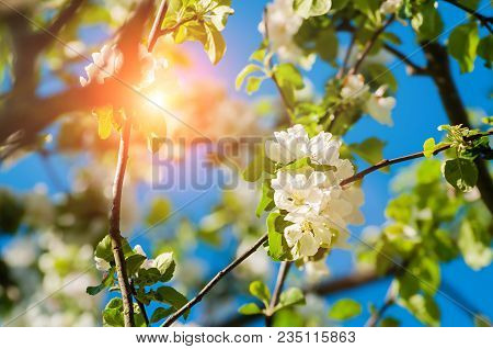 Spring Flowers Of Apple Tree Blooming In The Sunny Spring Garden. Natural Spring Flower Landscape Wi