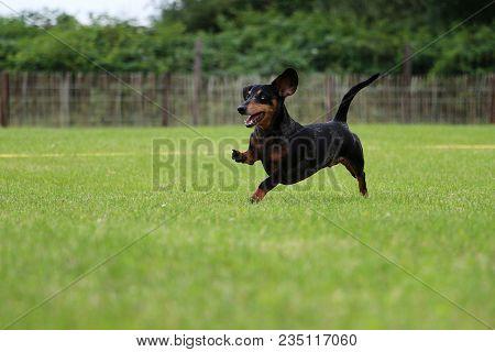 Funny Tiger Dachshound Is Running In The Garden