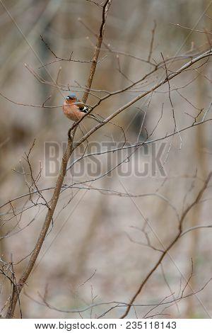 Fluffy Forest Bird (robin Redbreast) Watching Sitting On Bush Branch In April. European Robin (erith